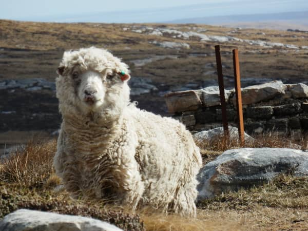 Sheep in the rural landscape (Falklands) representing the use of carbon neutral gas on farms